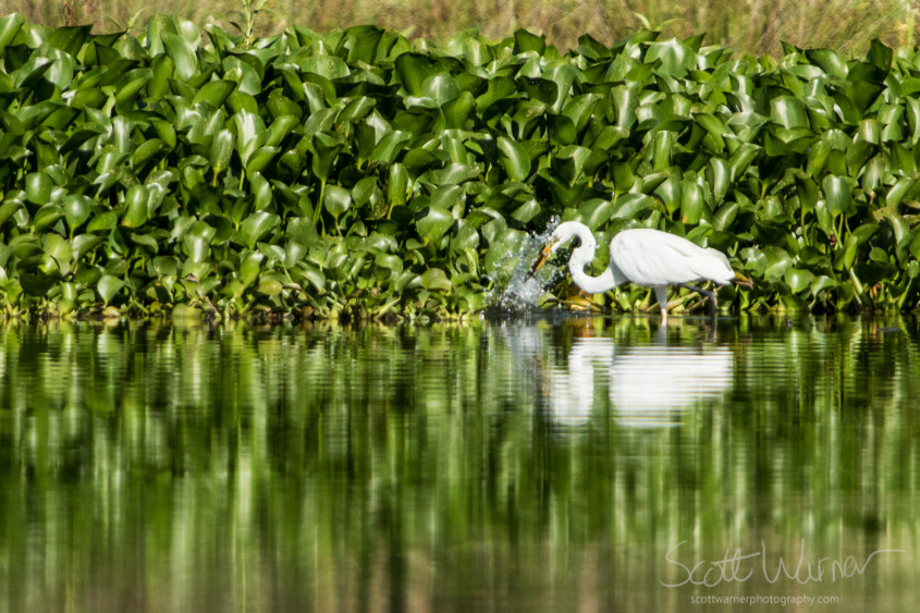 A Great Egret plunges in to catch a fish