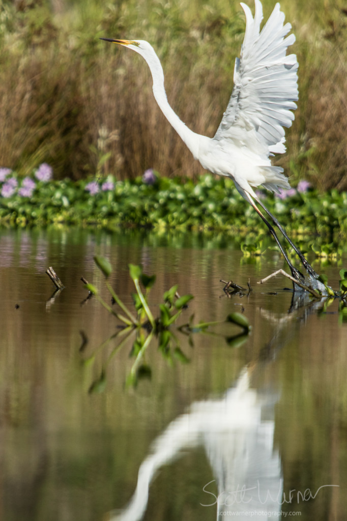 A Great Egret taking flight