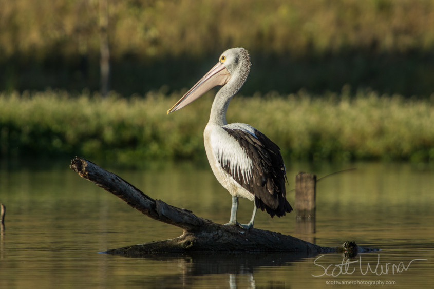 Pelican enjoying the early morning stillness