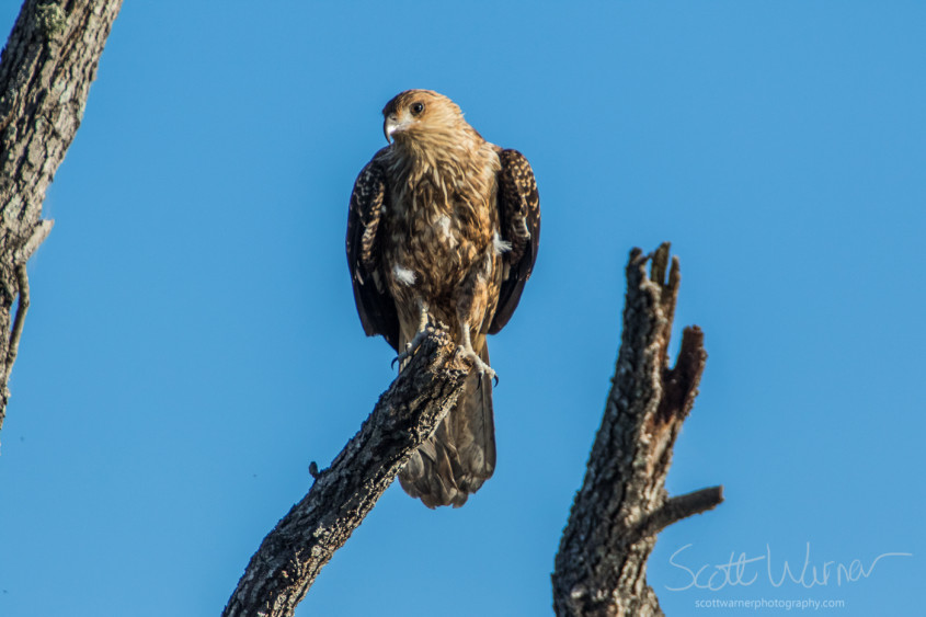 A Whistling Kite watches me intently
